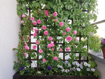 różowe róże leonardo da vinci w donicy