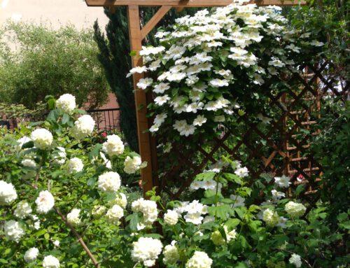 Kazimierz – moja przygoda z różami