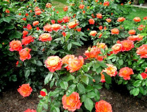 Hanna Gumper – moja przygoda z różami