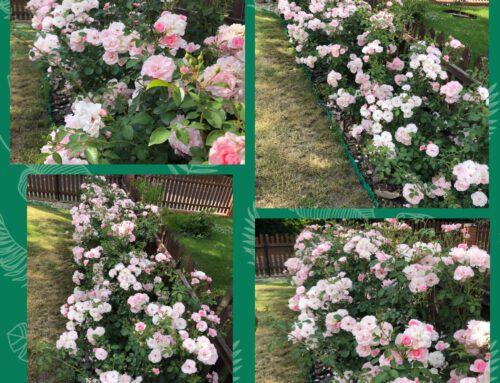Danuta Żarna – róże rabatowe