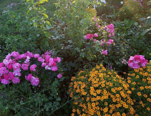 Piotr – Róże w ogrodzie w stylu rustykalnym