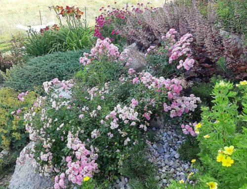 Halina – róże na Mazurach