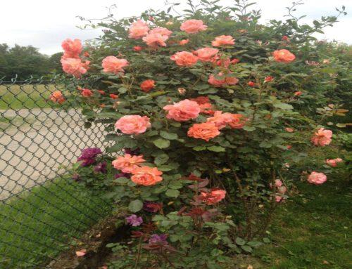 Marta – Ach ta róża