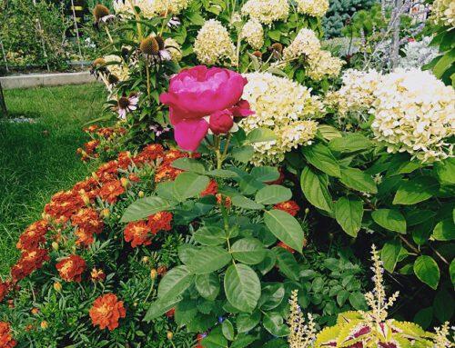 Monika – lata z różami