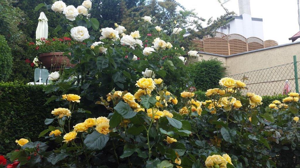 pielęgnacja róży