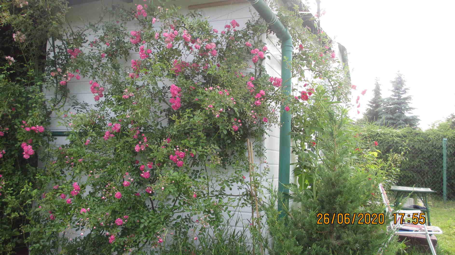 pielęgnowanie róży
