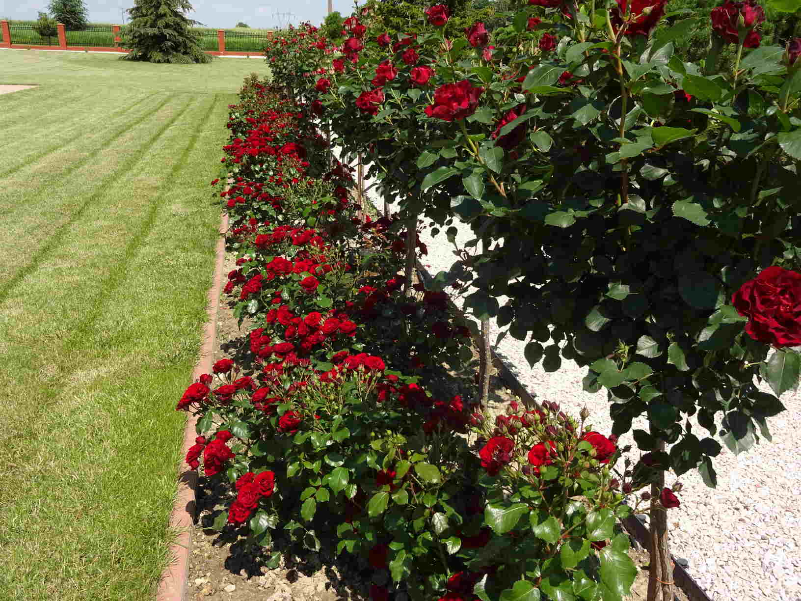 róża rabatowa lavaglut