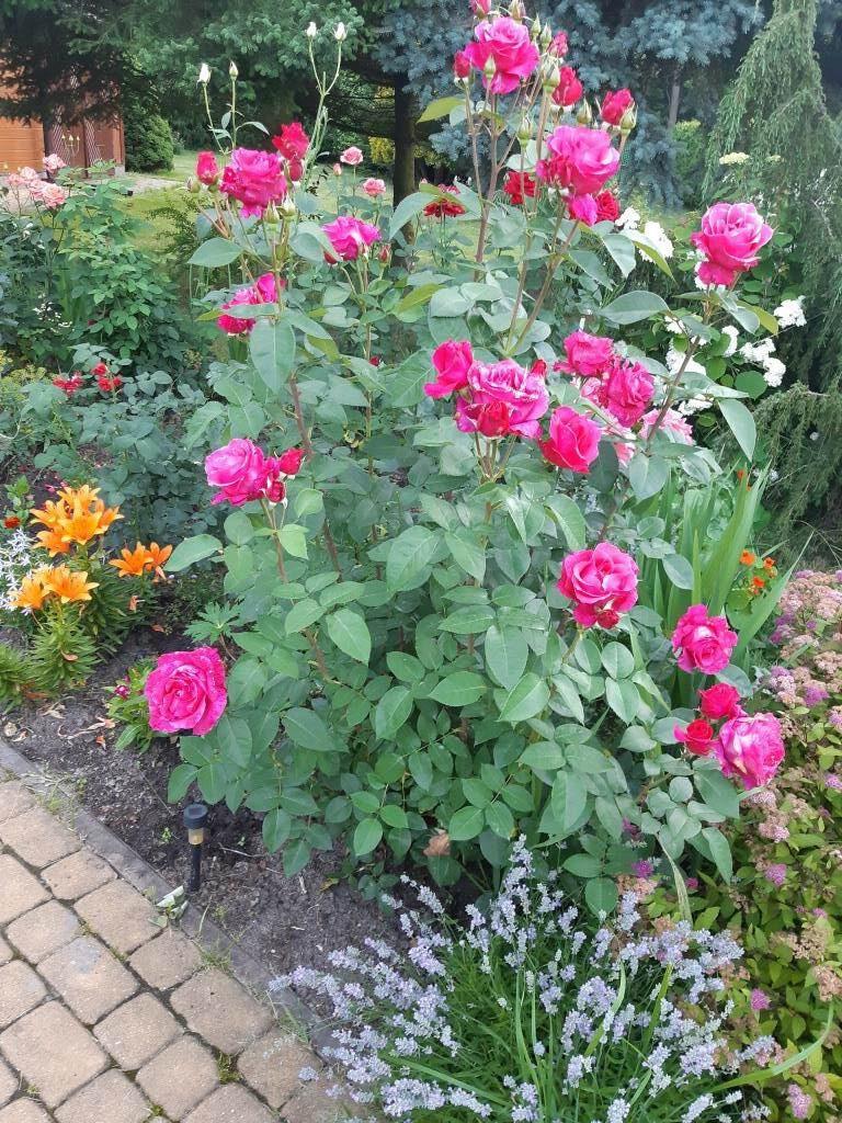 piękna róża