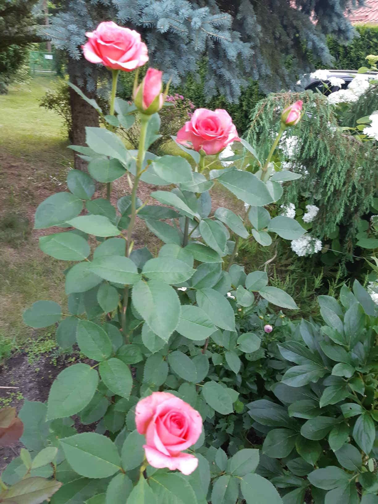 pielęgnowanie róż