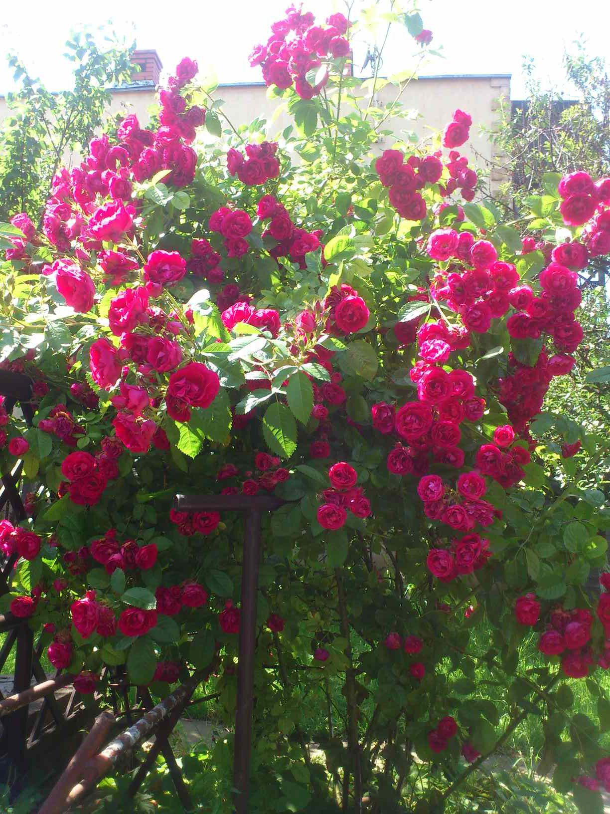 pnące róże
