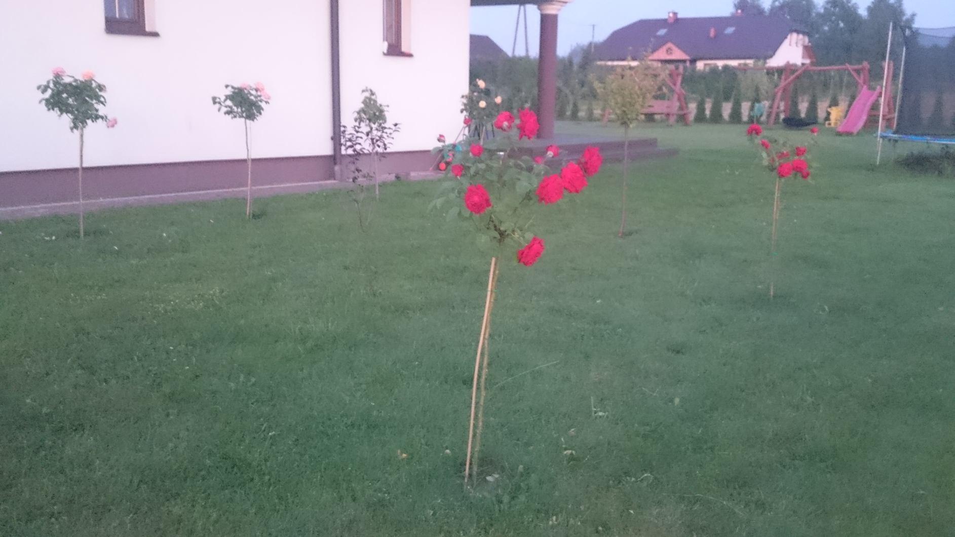 ogród róż