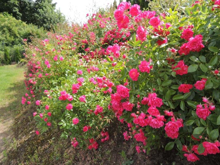 przycinanie róży