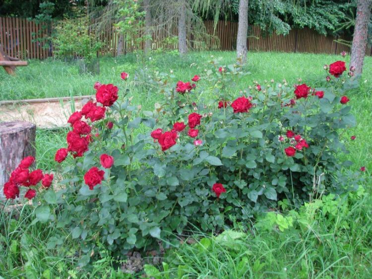 róże Barbara