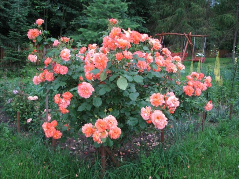 róże Westerland