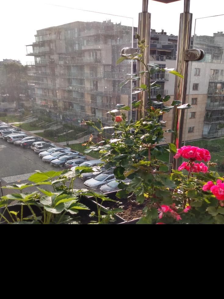 sadzenie róży