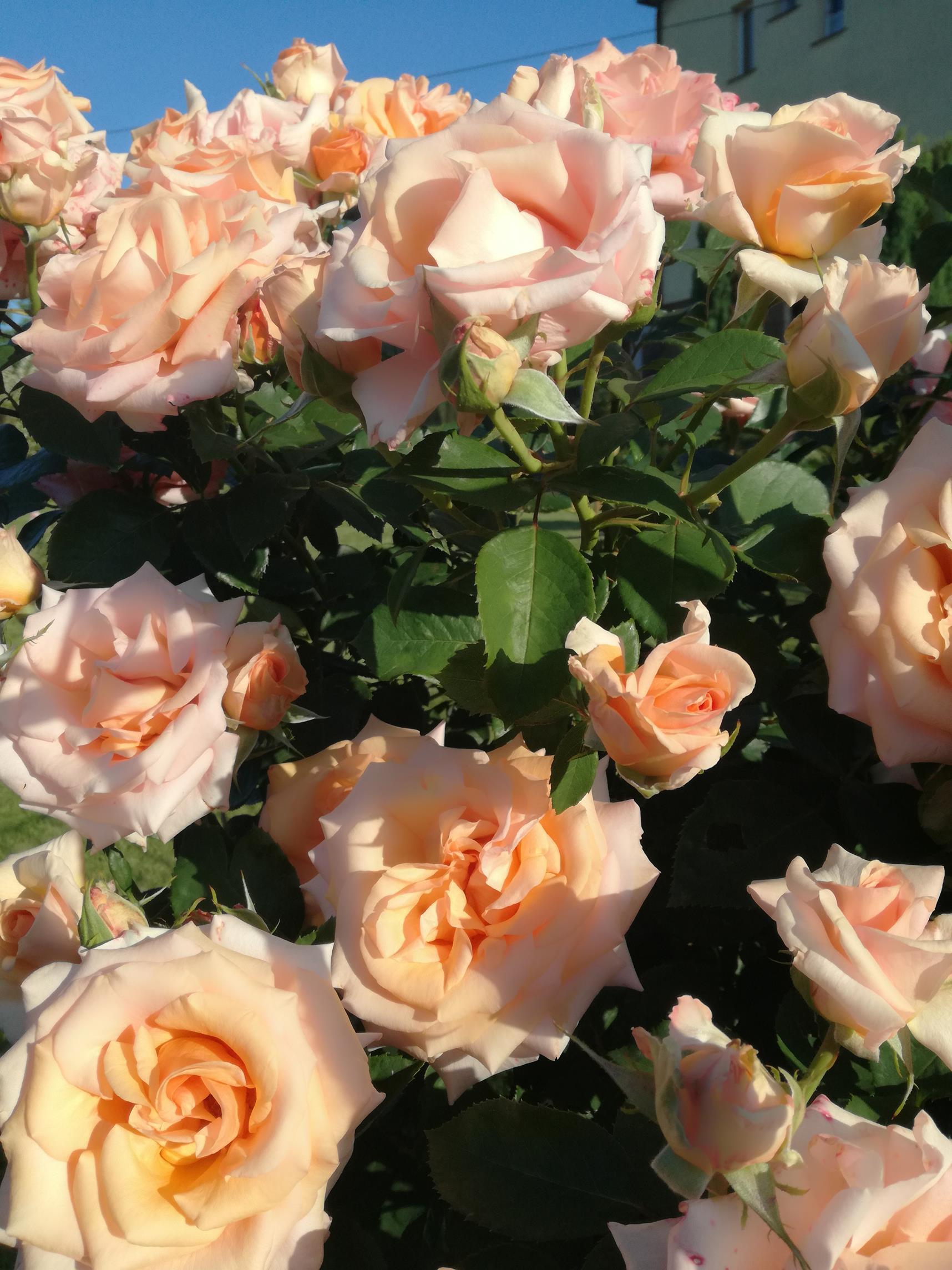 róża na pniu