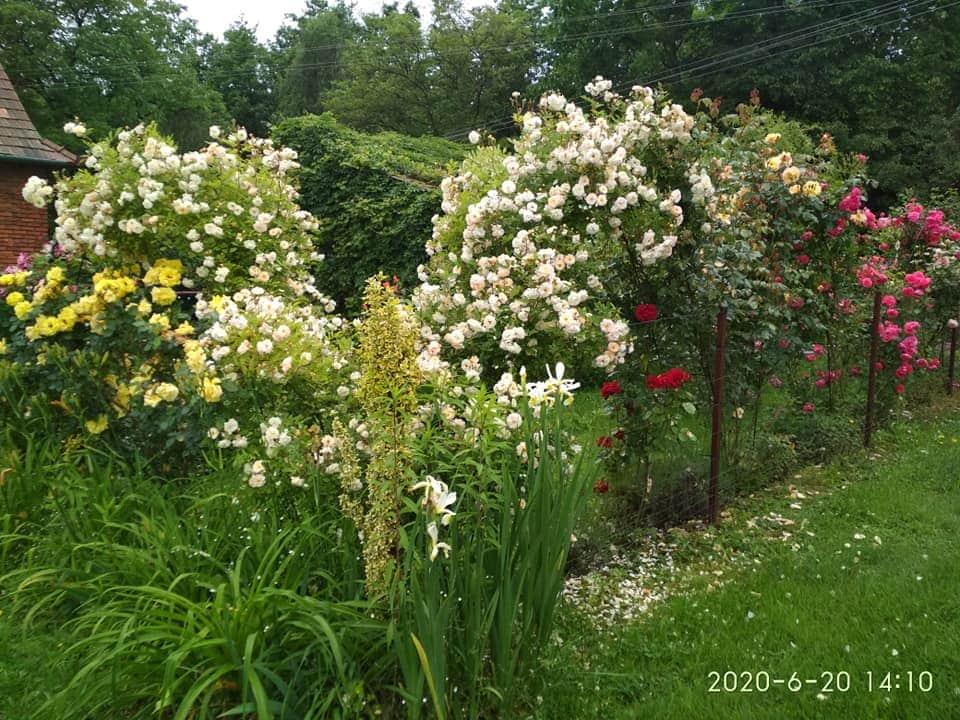 krzewy róż