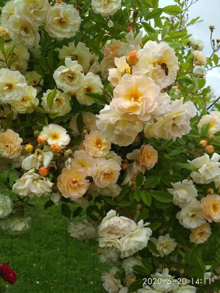 kwitnienie róż