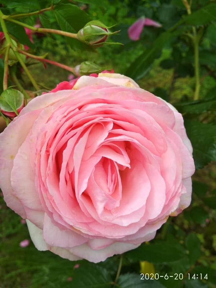 kwitnienie róży