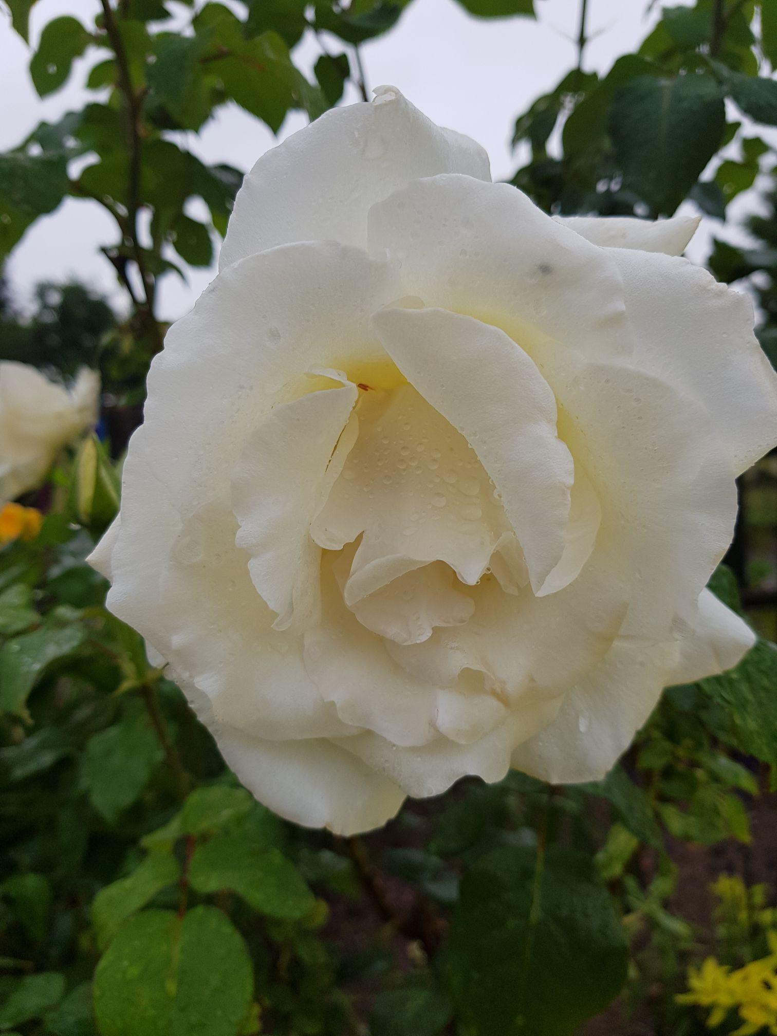 kwiaty róż
