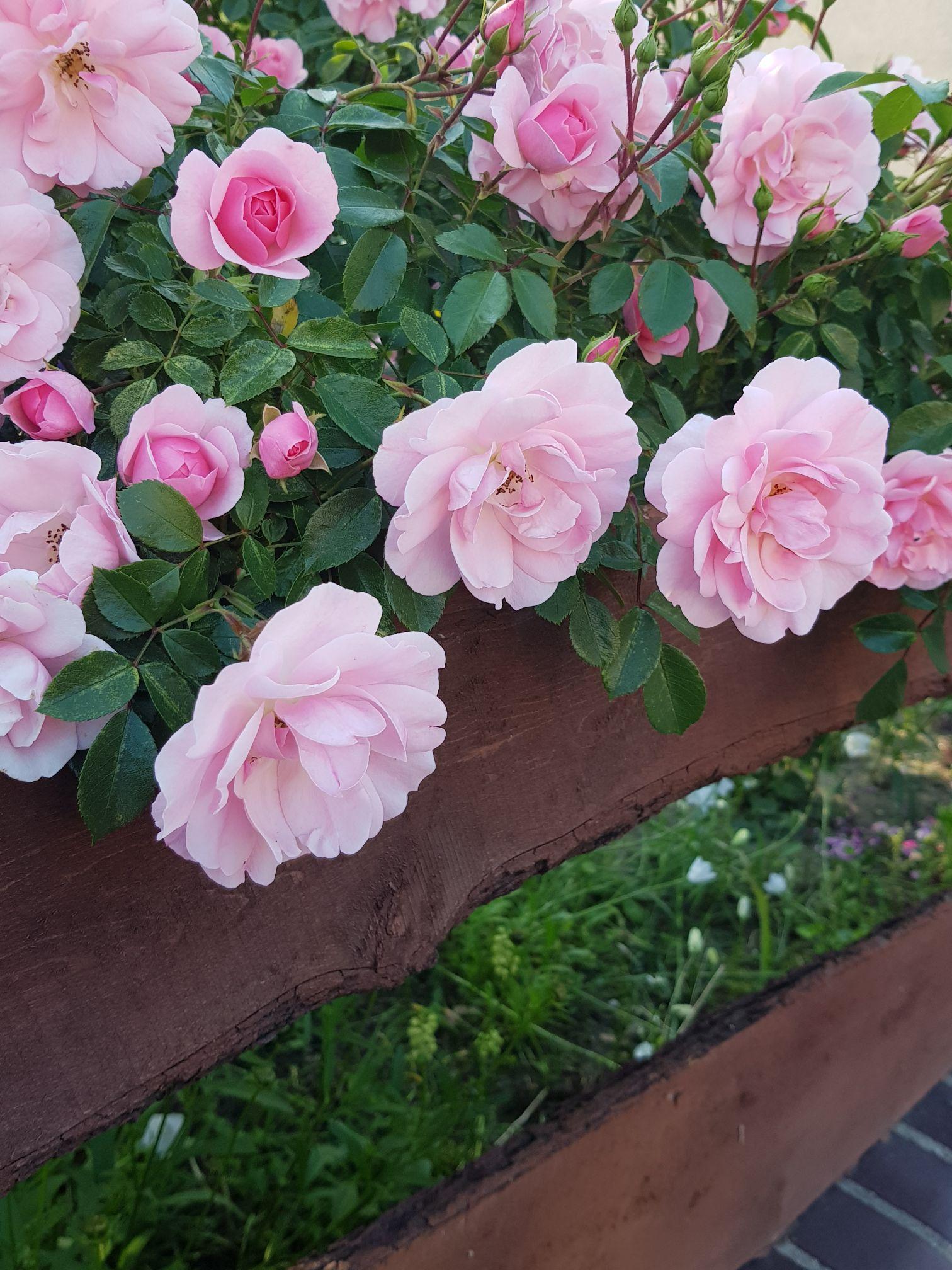 nawóz do róż