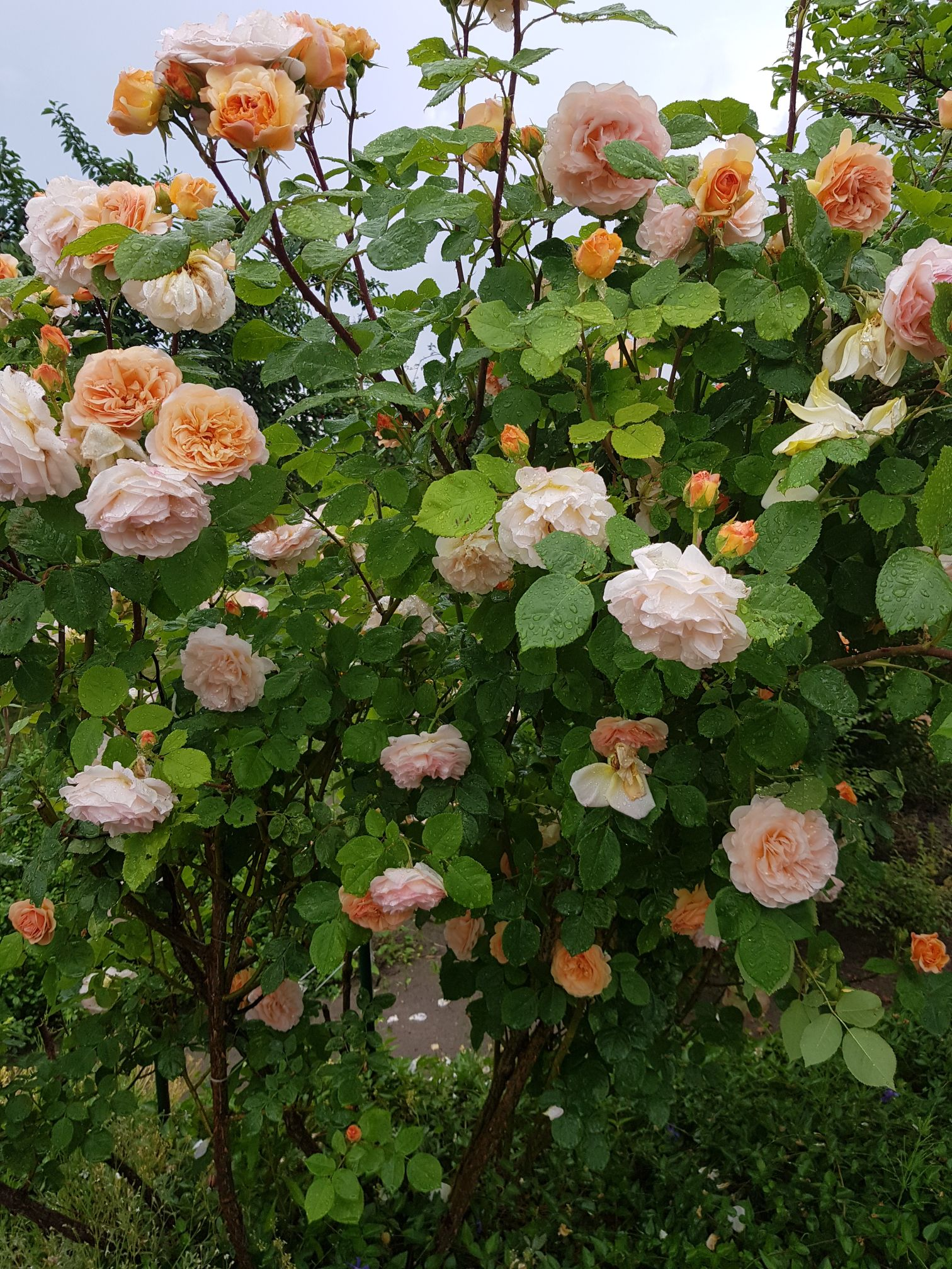 obcinanie róż