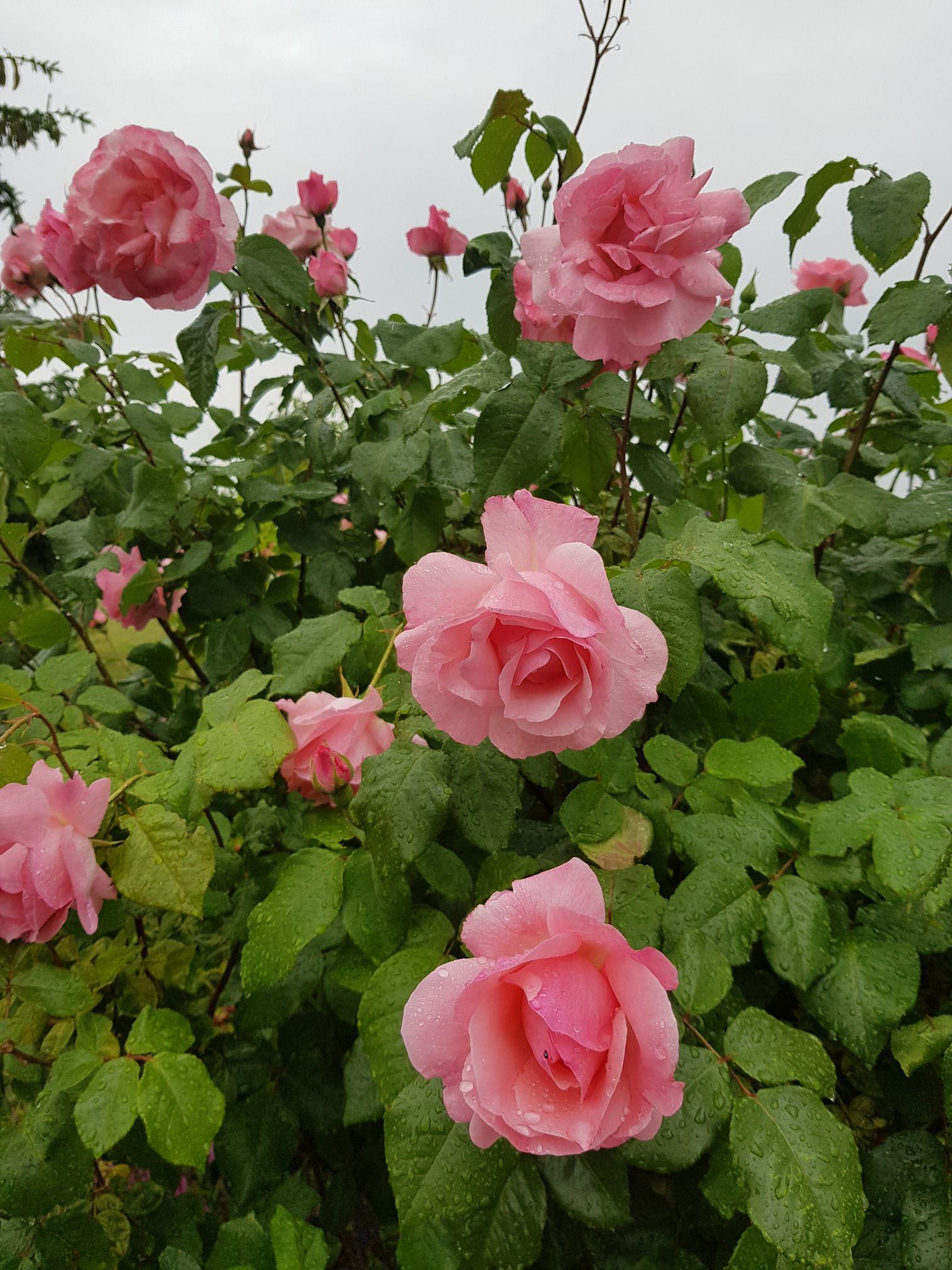 obcinanie róży