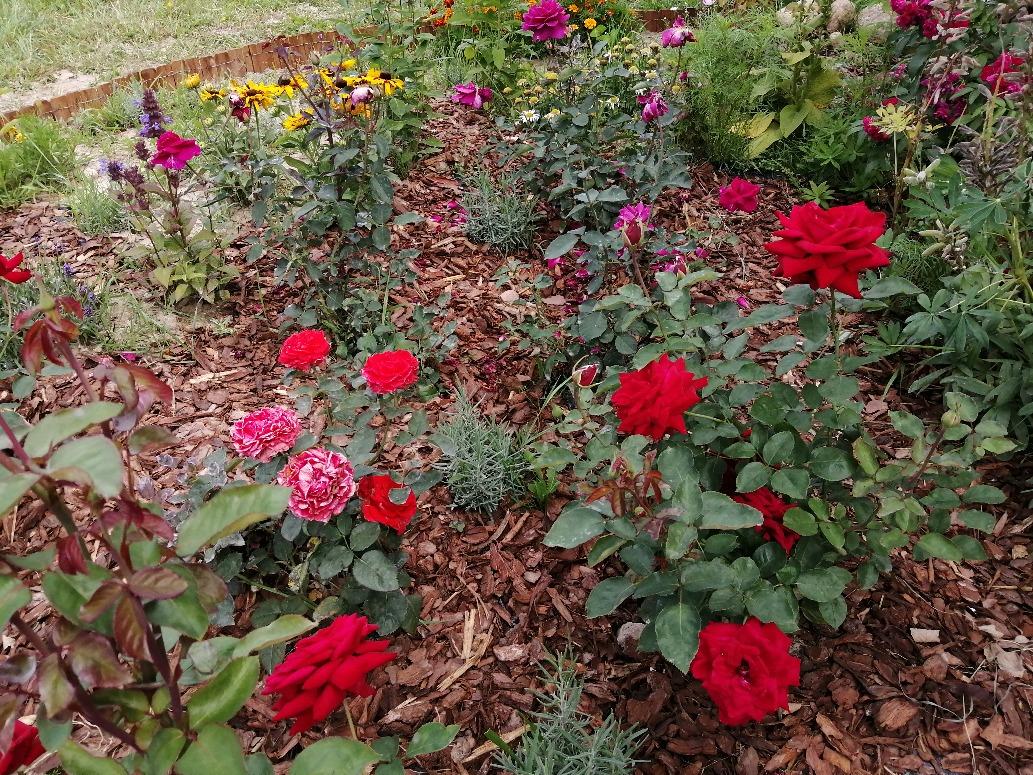 ogrody róż