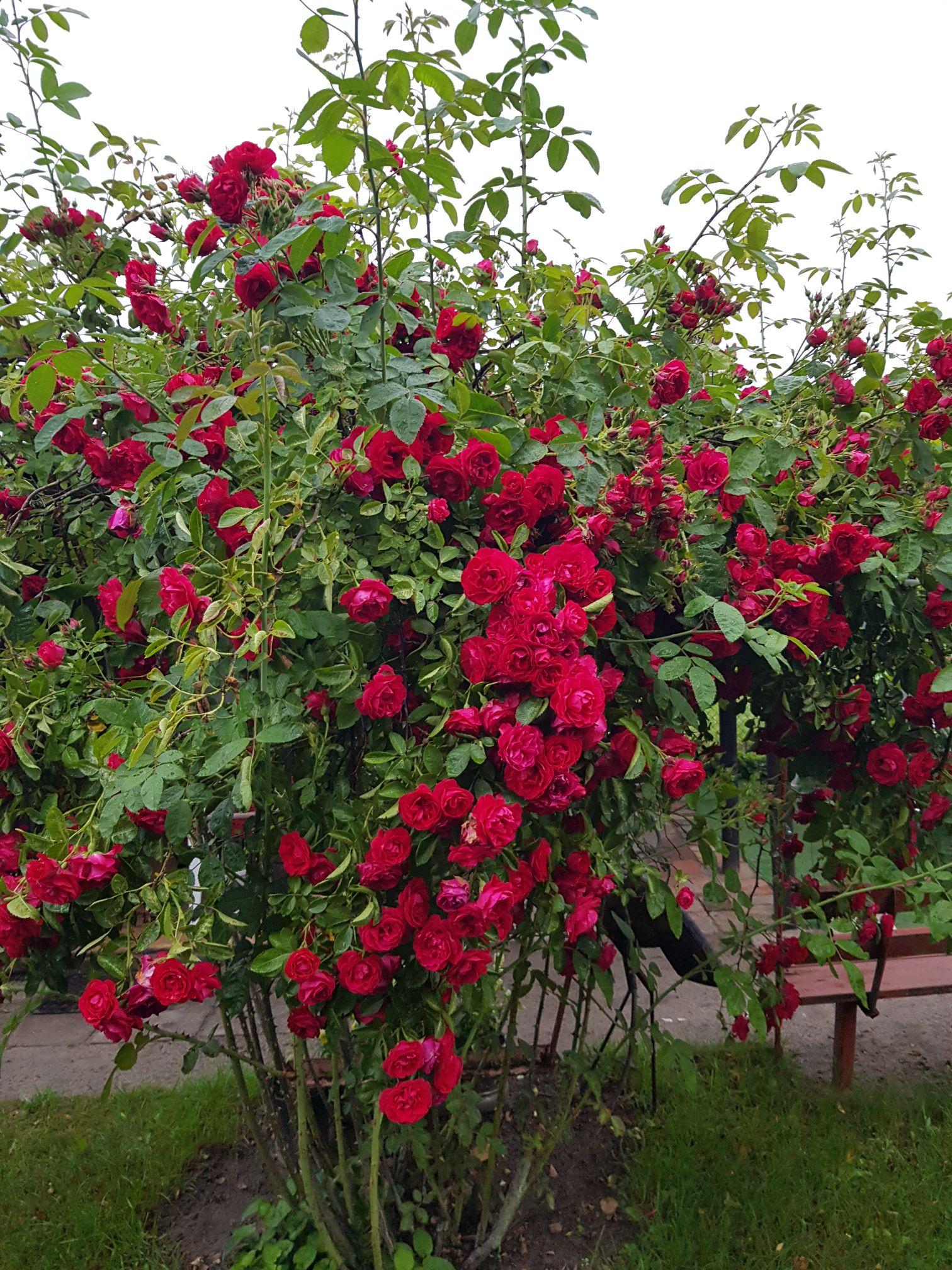róża pnąca sympatia