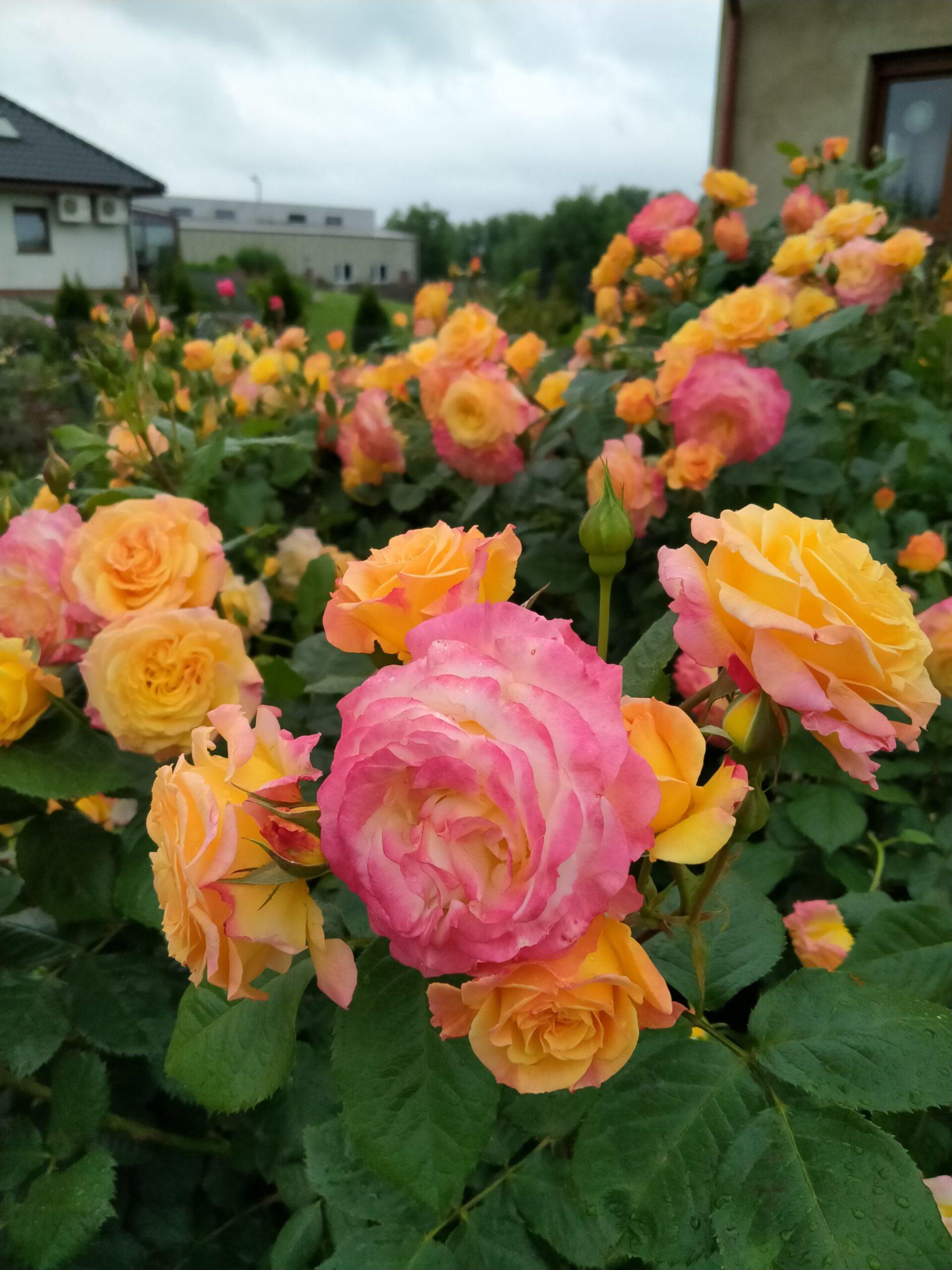 różane ogrody