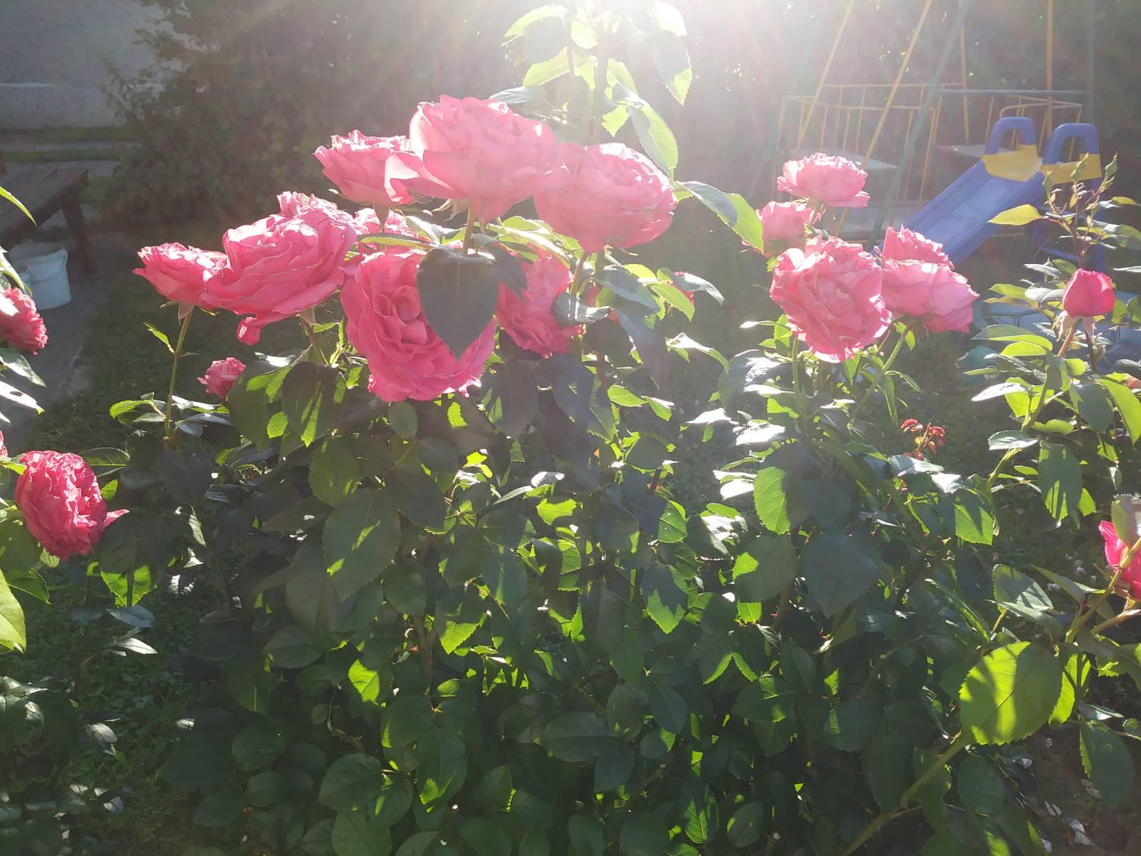 róże wielokwiatowe cherry lady