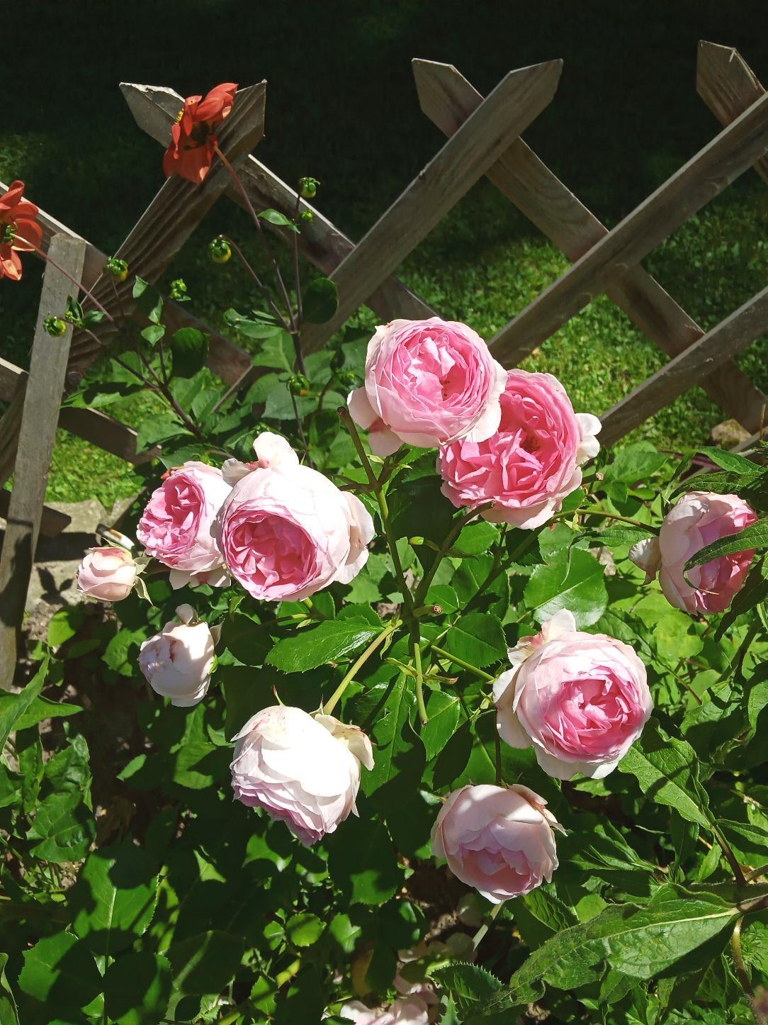 sadzonki róż