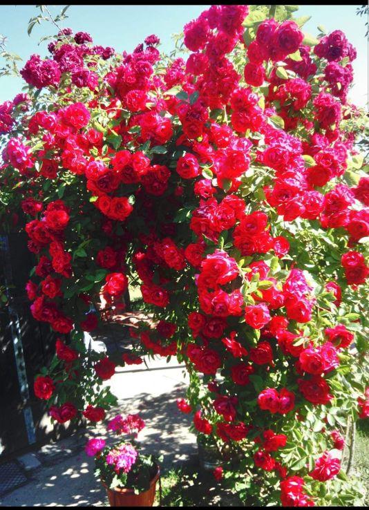 sympatia róża pnąca