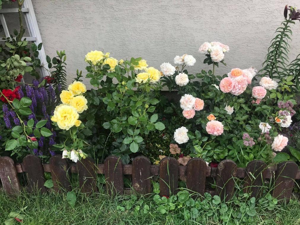 kwitnace róże
