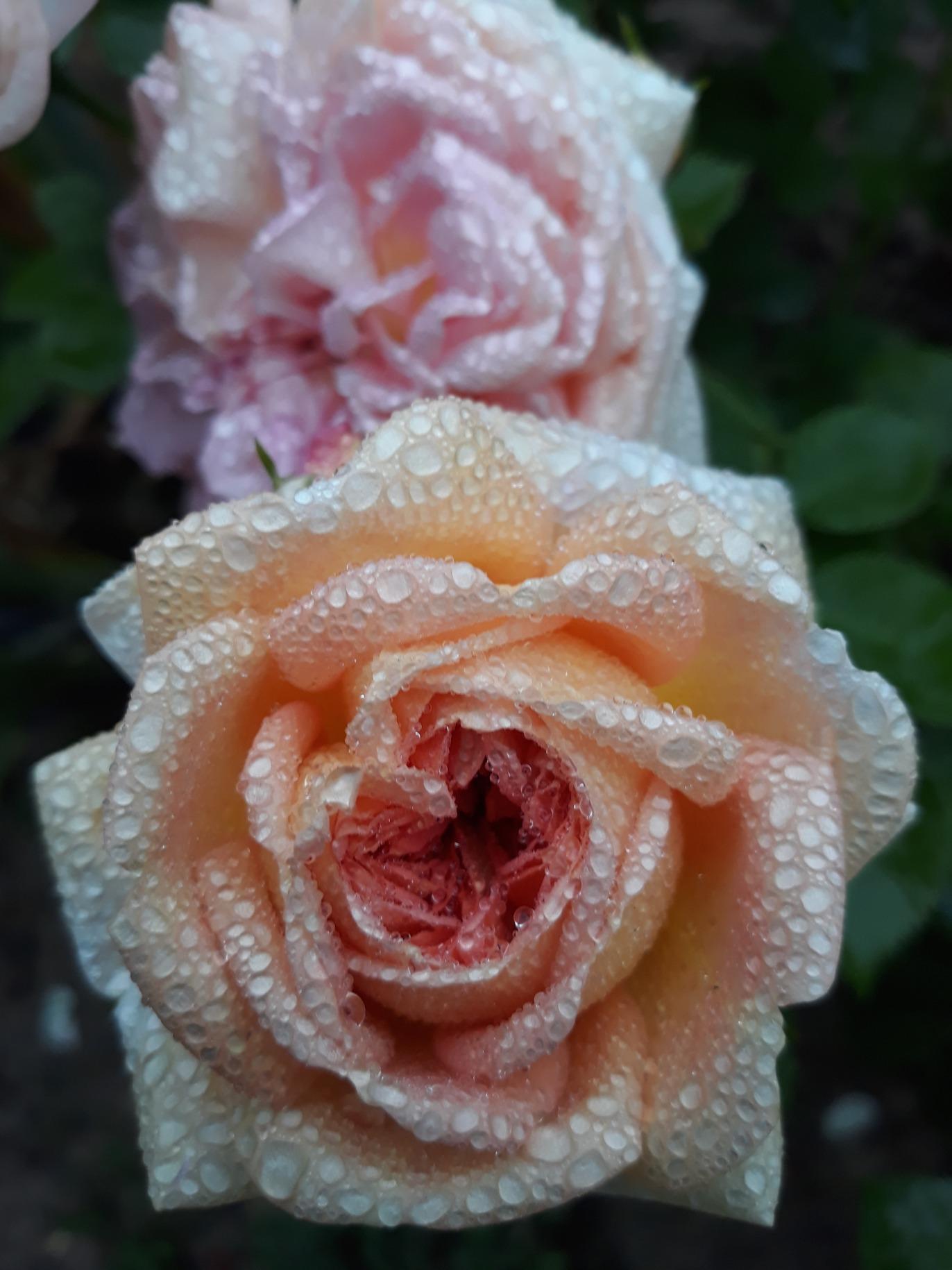 nawóz do róży