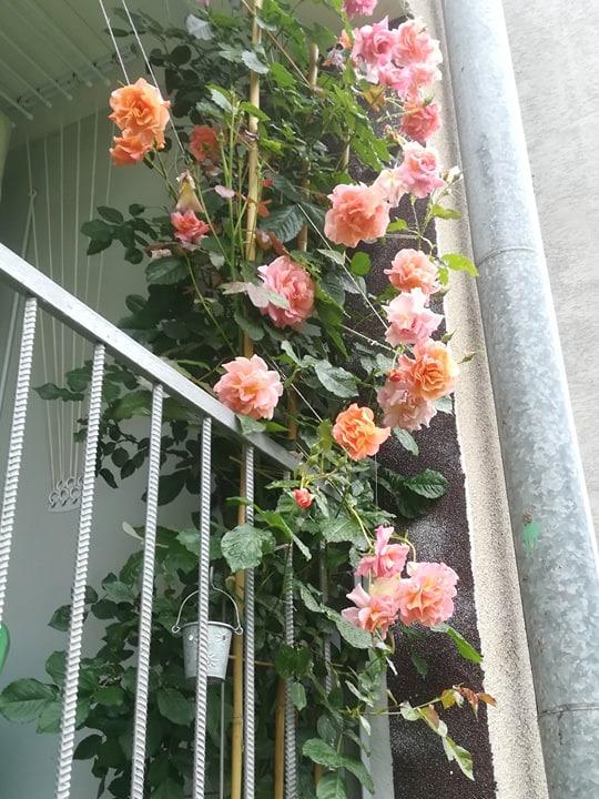 nawozenie róż