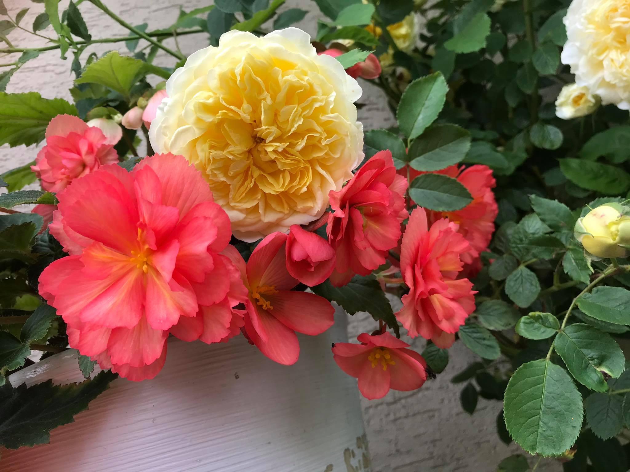 nawożenie róży