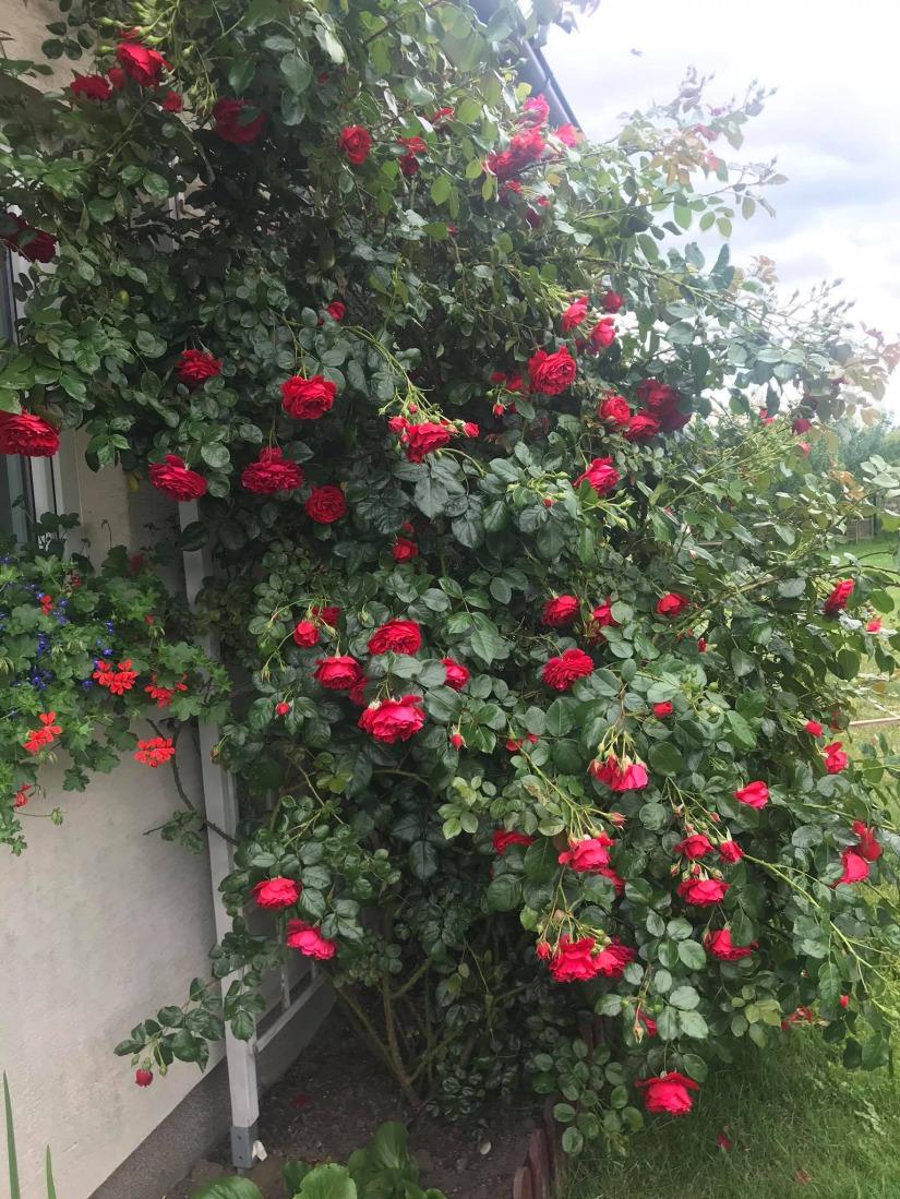 róża w ogrodzie