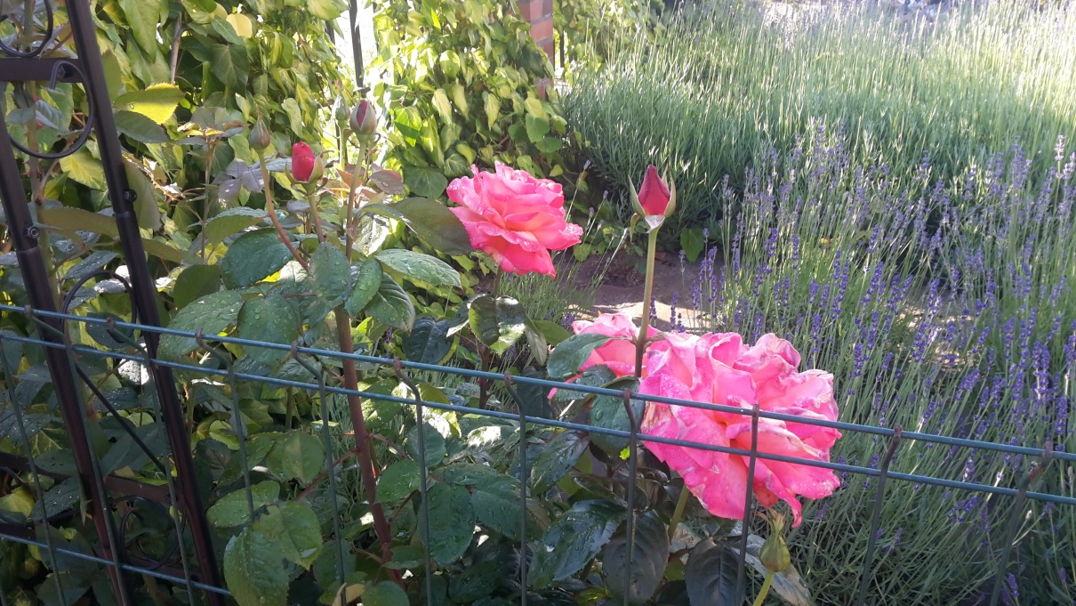różany ogród