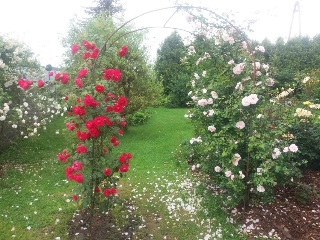róże w ogrodzie