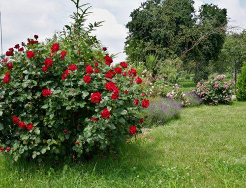 Anna – z różami od dziecka