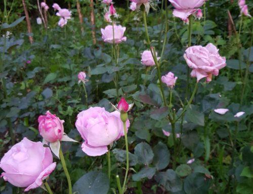 Przydomowa kwiaciarnia Oli