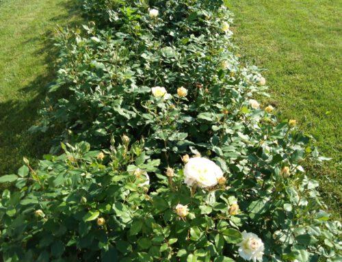 Leonard – dekada z różami